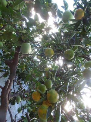 Debut novembre, les premières oranges